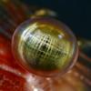 Shrimp: Pandalus gurneyi, Coonstripe Shrimp eye<br /> Golf Ball Reef, Palos Verdes, California