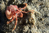 Crab:  Phimochirus californiensis, out of its shell.<br /> ID thanks to Dr. Mary Wicksten, Texas A&M