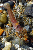 "Shrimp: Alpheus bellimanus, male<br /> ""Notice the sharp ridges on the pincers. No other California snapping shrimp has them. Color varies a bit from bright red to brown. ""<br /> The Barge, Redondo Beach, California<br /> ID and comments thanks to Dr. Mary Wicksten."