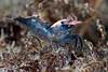 Shrimp: Heptacarpus palpator (?)<br /> ID by Greg Jensen