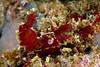 Shrimp: Lebbeus lagunae