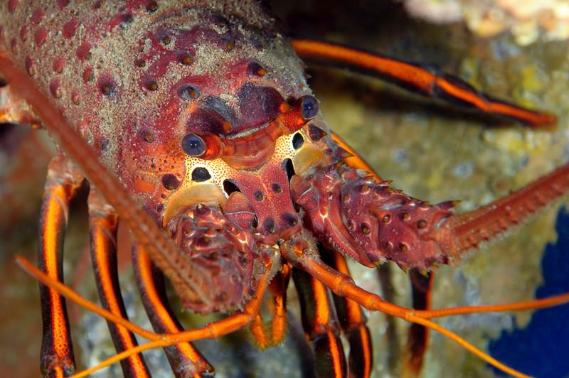 Panulirus interruptus, California Spiny Lobster<br /> Catalina Island, California
