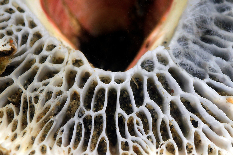 Cirripedia: Barnacle base, detail<br /> T-Pier, Morro Bay, California