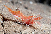Shrimp: Heptacarpus stimpsoni, perhaps<br /> ID thanks to Greg Jensen