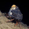 Crab: Pagurus beringanus. Notice the striped legs.<br /> North T-Pier, Morro Bay, California<br /> ID thanks to Mary Wicksten & Andy Lamb