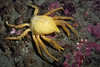 Crab: Taliepus nuttallii, Southern Kelp Crab, molt<br /> Golfball Reef, Palos Verdes, California<br /> ID thanks to Andy Lamb