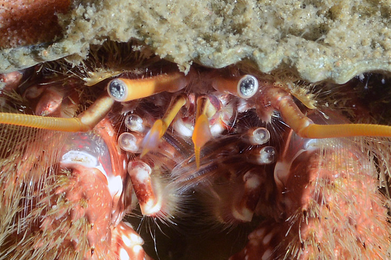 """Crab: Paguristes ulreyi<br /> The Barge, Redondo Beach, California<br /> * Regarding what appear to be extra sets of eye stalks:<br /> """"Those are part of the third and second maxillipeds - specifically, the ends of the last joint of the exopods of the second and third maxillipeds. The larger mouthpart that you see hanging down is the third maxilliped; at the base it it split into two parts- the larger one is used in food handling, while the other branch is the fluttery thing you see by the mouth. Normally it's positioned closer in, but he's got it lowered a bit so you are seeing it head on, which indeed looks very much like an eye."""" Comments thanks to Greg Jensen."""