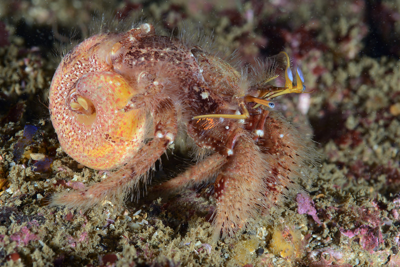 """Paguristes ulreyi, Hairy Hermit Crab, out of its protective shell.  The crab was placed back in a shell after this photo.  <br /> Zeigler Reef, Palos Verdes, California<br /> Was curious to know how a hermit crab evacuates waste so as to """"not foul its nest"""", so to speak.<br /> """"Not quite sure how they do it, but I'm guessing that they must hunch forward enough to get the end of their abdomen in the body whorl of the shell when they poop. Then you see it get expelled out the front in the middle, past the mouthparts - kind of shoots out in the respiratory current after they've investigated it a bit with their mouthparts. I've seen some crabs re-ingest their poop at that point in the process. Since their digestive system operates very differently from ours it's not quite as disgusting as it sounds...""""<br /> Comments thanks to Dr. Gregory Jensen"""