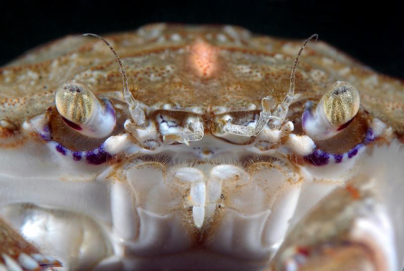 Crab: Portunus xantusii, Swimming Crab
