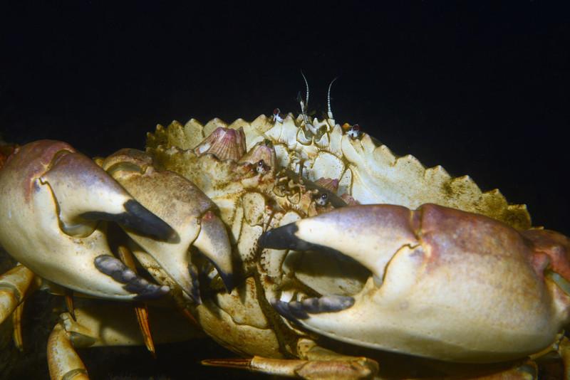 Crab:<br /> Redondo Barge, California