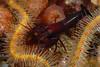Shrimp: Betaeus macginitieae, Urchin Shrimp<br /> Santa Cruz