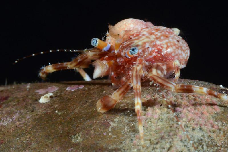 Crab:<br /> Golf Ball Reef, Redondo Beach, California