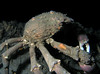 Crab: Loxorhynchus grandis, Sheep Crab