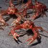 Crab: Pleuroncodes planipes<br /> La Jolla Shores, CA