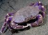 Crab: Metacarcinus gracilis, Graceful Crab<br /> ID thanks to Ondrej Radosta