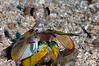 Stomatopoda: Hemisquilla ensigera californiensis, Mantis Shrimp<br /> Catalina