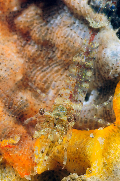 Shrimp ID needed<br /> T-Pier, Morro Bay, California