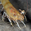 Shrimp: Penaeus californiensis, Brown Shrimp<br /> Redondo Canyon