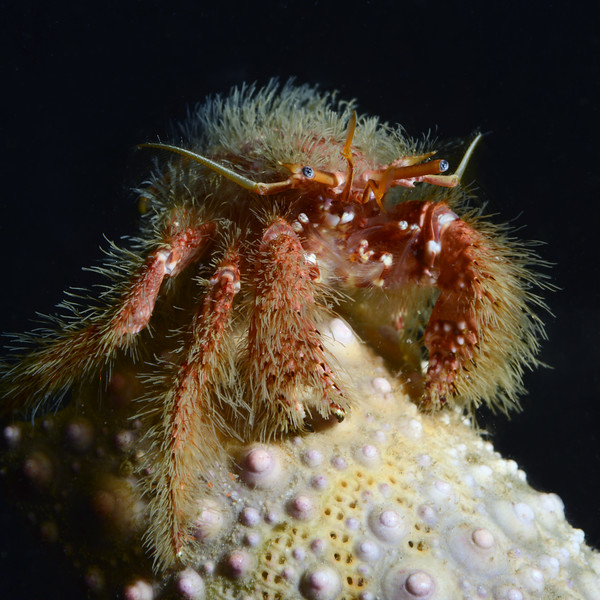 Crab: Paguristes ulreyi, Hairy Hermit Crab<br /> Bluff Cove, Palos Verdes, California