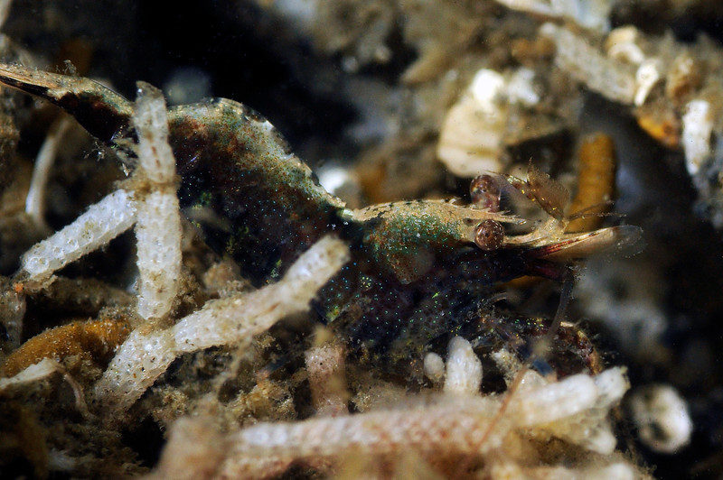 Shrimp: Likely Heptacarpus palpator.<br /> ID thanks to Mary Wicksten.<br /> Hyperion Pipe, El Segundo, California