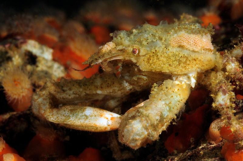 Crab: Male Scyra acutifrons<br /> ID thanks to Mary Wicksten<br /> Hyperion Pipe, El Segundo, California
