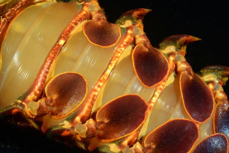 Panulirus interruptus, ventral side of tail.<br /> The Barge, Redondo Beach, California