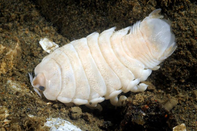 Isopod<br /> T-Pier, Morro Bay, California