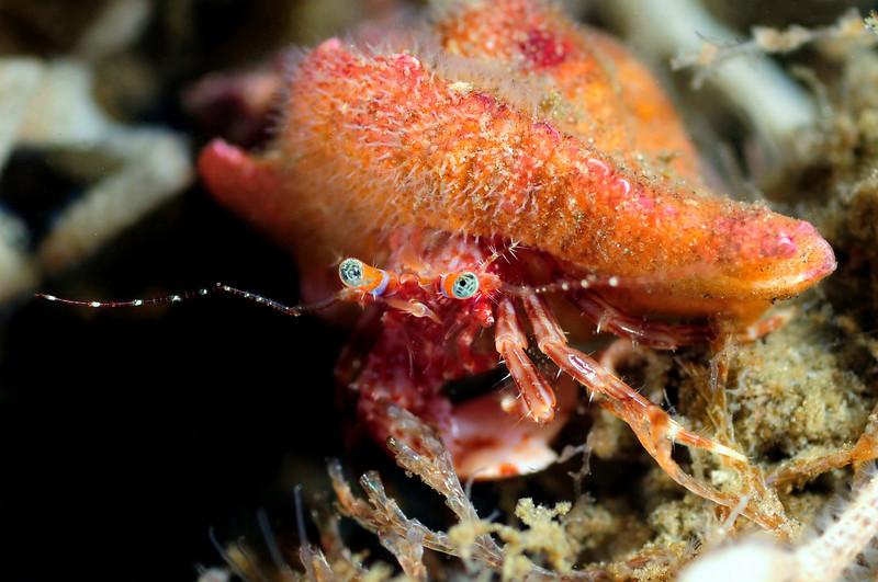 "Crab: Phimochirus californiensis<br /> ""The Pipe"", El Segundo, California<br /> ID thanks to professor Mary Wicksten"