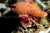 "Crab: Phimochirus californiensis<br /> ""The Pipe"", El Segundo, California<br /> ID thanks to professor Mary Wicksten"
