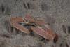 Crab: Latulambrus occidentalis, Sandflat Elbow Crab, formerly Heterocrypta