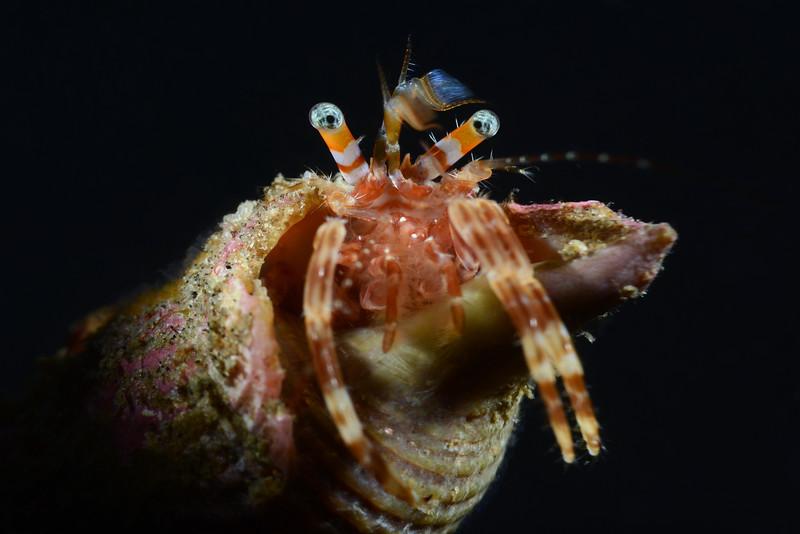 Crab: Hermit ID needed<br /> Golf Ball Reef, Redondo Beach, California
