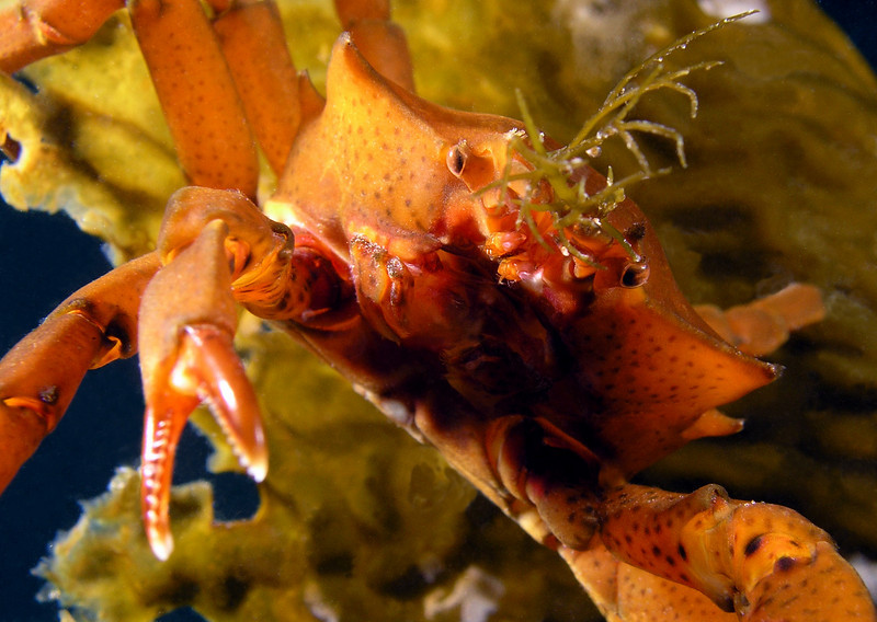 Crab: Pugettia producta, Northern Kelp Crab<br /> ID thanks to Greg Jensen