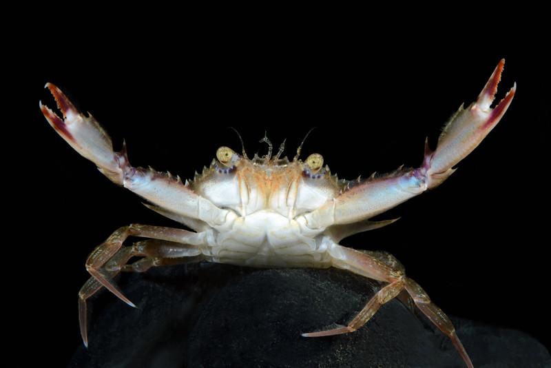 Crab: Portunus xantusii<br /> West Golf Ball Reef, Redondo Reef, California<br /> ID thanks to Dr. Mary Wicksten