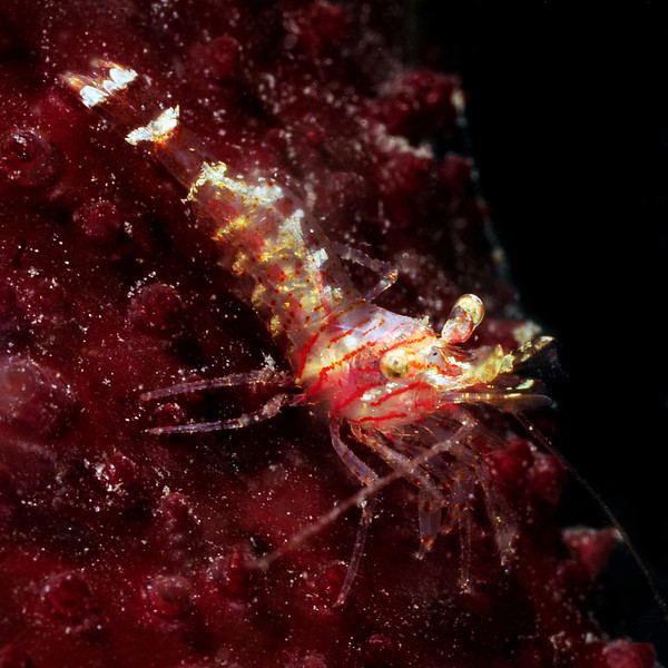 """Shrimp: Spirontocaris species, likely<br /> """"The Pipe"""", El Segundo, California<br /> ID thanks to Mary Wicksten"""