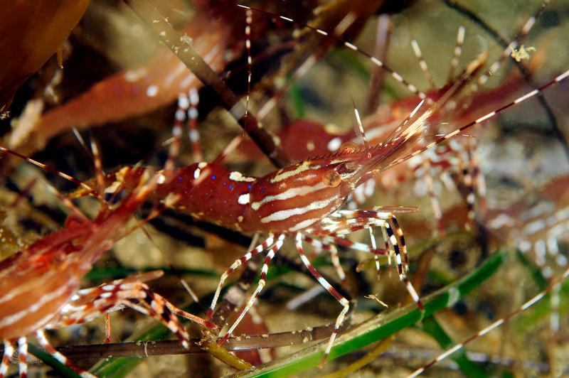 Shrimp: Pandalus platyceros<br /> ID thanks to Mary Wicksten<br /> Approx. 100fsw, La Jolla Shores, California