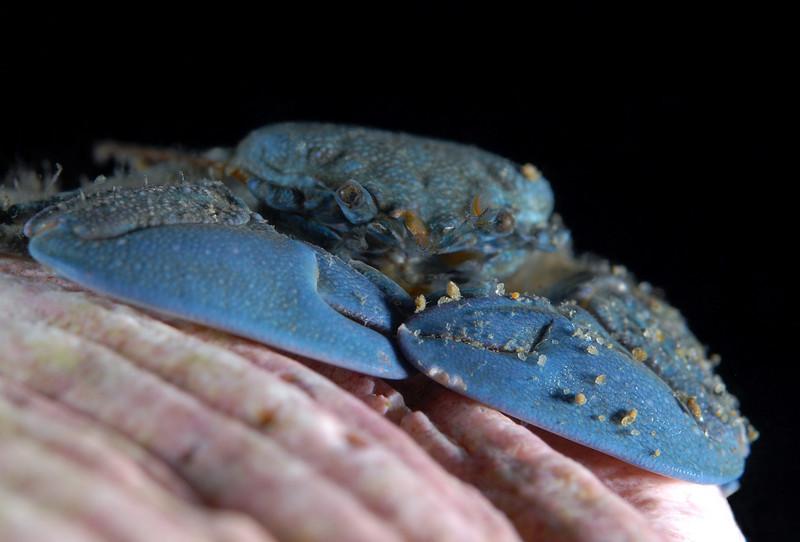 Crab: Petrolisthes cabrilloi<br /> Shaw's Cove, Laguna Beach, CA