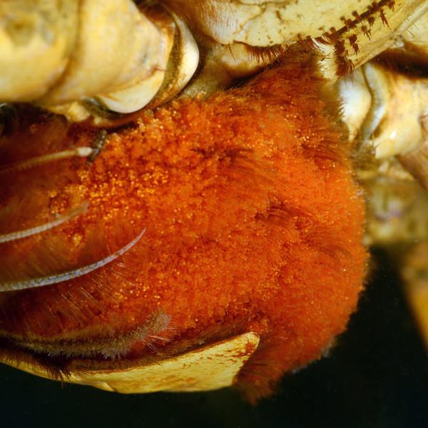 Crab eggs<br /> Redondo Barge, California