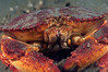 Crab: Cancer productus<br /> Morro Bay, California<br /> ID thanks to Mary Wicksten