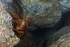 Panulirus interruptus, California Spiny Lobster in cave.<br /> Palos Verdes, California