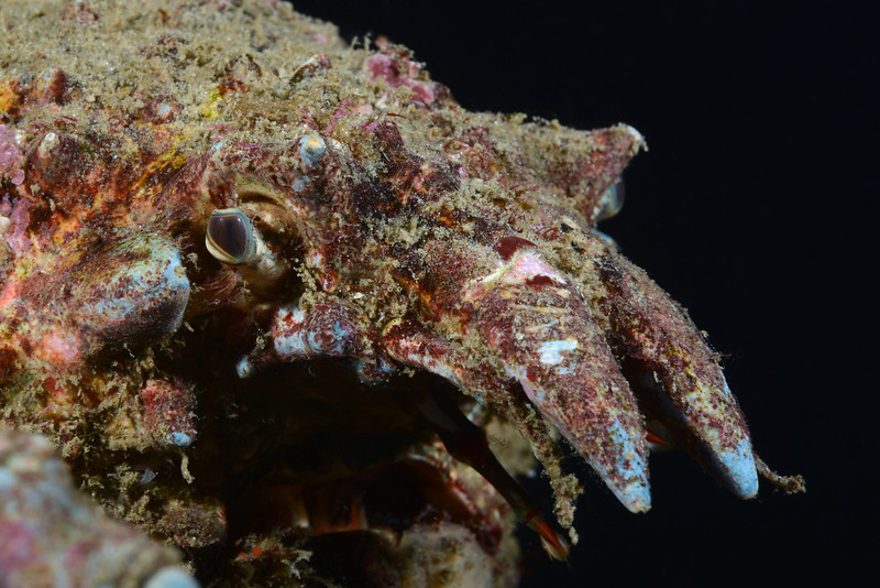 Crab: Sheep Crab<br /> Golf Ball Reef, Palos Verdes, California