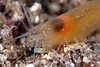 "Shrimp: Salmoneus gracilipes ""was once listed as an introduced species in California, but my feeling is it's an undescribed species of Salmoneus"". <br /> ID thanks to Arthur Anker and Greg Jensen.<br /> Catalina"
