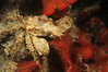 Crab: Scyra acutifrons<br /> T-Pier, Morro Bay, California<br /> ID thanks to Mary Wicksten.