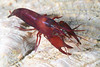Shrimp:  Betaeus macginitieae, Urchin Shrimp<br /> Halfway Reef, Palos Verdes, California