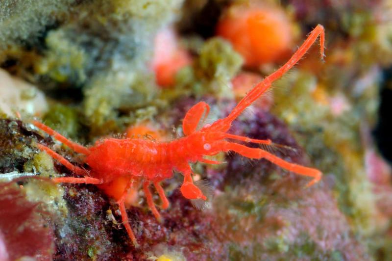 Podocerus cristatus, perhaps (?)<br /> Anacapa Island, California