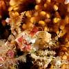 Scyra acutifrons, Sharpnose Crab<br /> ID thanks to Mary Wicksten<br /> San Miguel Island, California