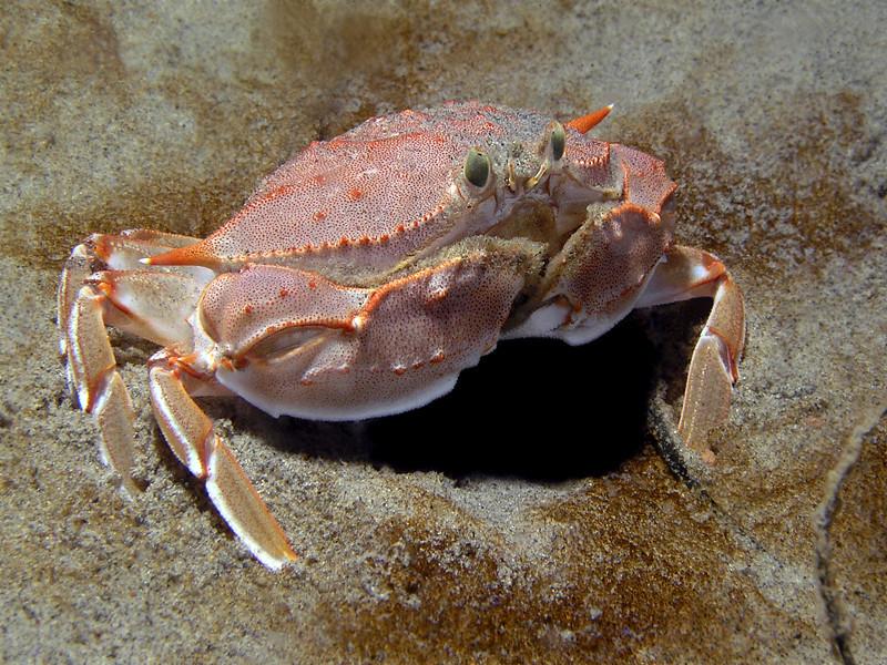 Crab: Platymera gaudichaudi<br /> ID thanks to Greg Jensen<br /> La Jolla Shores