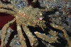 Crab: Loxorhynchus grandis, Sheep Crab<br /> Palos Verdes, California