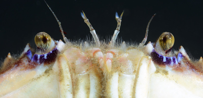 Crab: Portunus xantusii, Swimming Crab<br /> Golfball Reef, Palos Verdes, California