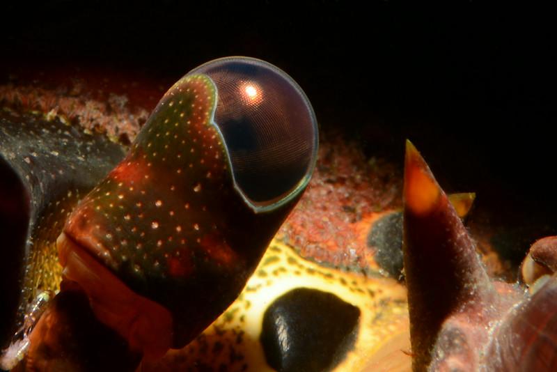 Panulirus interruptus, California Spiny Lobster, eye stalk, snoot lighting.<br /> The Crane, Redondo Beach, California