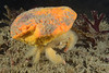 Crab:  Cryptodromiopsis sarraburei, with sponge<br /> Golf Ball Reef West, Palos Verdes, California<br /> ID thanks to Dr. Mary Wicksten